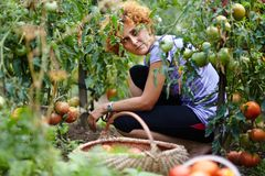 Young woman picking tomatoes Stock Photo