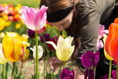 Young woman picking tulips in the garden Royalty Free Stock Images