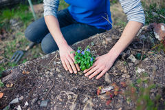 Young woman planting lobelia in garden Stock Photography