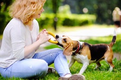 Young woman playing with Beagle dog. Young beautiful woman playing with Beagle dog in the summer park Royalty Free Stock Image