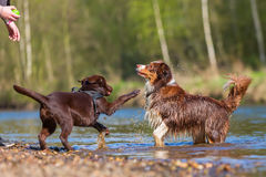 Young woman playing with dogs at the river. Young woman playing with an Australian Shepherd and a Labrador puppy at the river Stock Photo