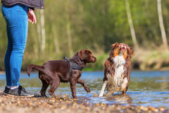 Young woman playing with dogs at the river. Young woman playing with an Australian Shepherd and a Labrador puppy at the river Stock Photography