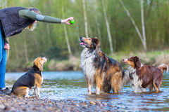 Young woman playing with three dogs at a river. Young woman playing with a Beagle, a Collie-Mix and an Australian Shepherd dog at a river Royalty Free Stock Images
