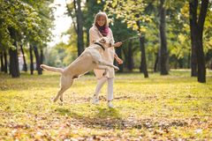 .A young woman plays with her dog Labrador in the park in the fall. Throws a stick to the dog. A young woman plays with her dog Labrador in the park in the fall royalty free stock photos