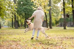 .A young woman plays with her dog Labrador in the park in the fall. Throws a stick to the dog. A young woman plays with her dog Labrador in the park in the fall stock photos