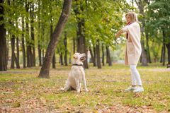 .A young woman plays with her dog Labrador in the park in the fall. Throws a stick to the dog. A young woman plays with her dog Labrador in the park in the fall stock photography