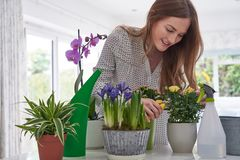 Young Woman Pruning Rose Houseplant With Secateurs At Home stock photos
