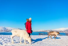 Young woman with reindeer. Young woman outdoors with reindeers on sunny winter day in Northern Norway royalty free stock image