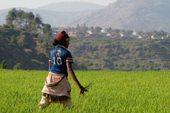 Young malagasy woman in the rice field Royalty Free Stock Image
