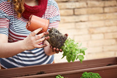Young woman's hands transplanting mint Royalty Free Stock Image