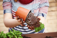 Young woman's hands transplanting parsley Royalty Free Stock Photo