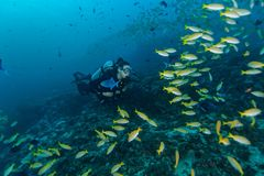 Young woman scuba diver exploring coral reef. Underwater activities Royalty Free Stock Photography