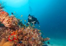 Young woman scuba diver exploring coral reef. Underwater activities Stock Photos