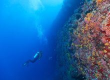 Young woman scuba diver exploring coral reef. Underwater activities Stock Images