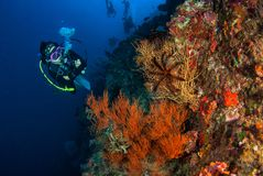 Young woman scuba diving on a beautiful soft coral reef in South. Andaman, Thailand stock photos