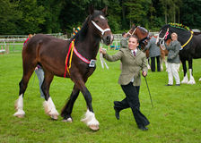 Young Woman showing Shire Horse Stock Image