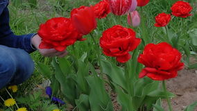 A young woman is sniffing flowers. Beautiful, red tulips blossom in the garden stock video