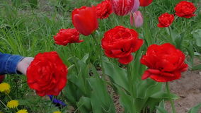 A young woman is sniffing flowers. Beautiful, red tulips blossom in the garden stock footage