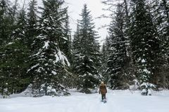 A young woman snowshoeing through the forests of Fernie Mountain Provincial Park, British Columbia, Canada. Walking in her snowshoes through freshly fallen royalty free stock photography