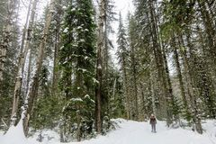 A young woman snowshoeing through the forests of Fernie Mountain Provincial Park, British Columbia, Canada royalty free stock image