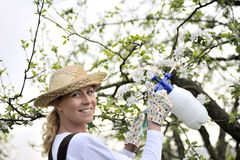 Young woman spraying apple tree. An image of young woman spraying apple tree Royalty Free Stock Images