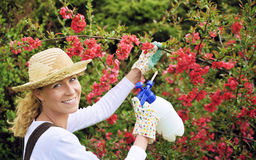 Young woman spraying tree. Chaenomeles japonica Stock Photos