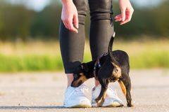 Woman with a pinscher hybrid puppy. Young woman standing with a cute pinscher hybrid puppy outdoors Royalty Free Stock Photography