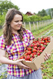 Young woman in strawberry field holding a cardboard box full wit Royalty Free Stock Photography