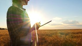 A young woman with a tablet in hand is standing in a wheat field during sunset, counts the harvest and profits stock video footage