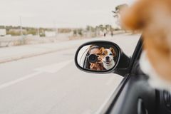 Free Young Woman Taking A Picture With Camera On Rear Mirror Of Her Cute Small Jack Russell Dog Watching By The Window. Ready To Travel Royalty Free Stock Images - 158888099