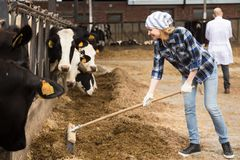 Young woman taking care of cows in cows barn. Young cowgirl taking care of cows in cows barn Royalty Free Stock Images