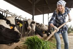 Young woman taking care of cows in cows barn royalty free stock image