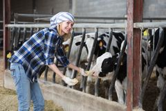 Young woman taking care of cows in cows barn Royalty Free Stock Photos