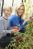 Young woman with teenager harvesting tomatoes Stock Photos