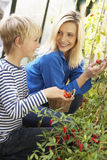 Young woman with teenager harvesting tomatoes Royalty Free Stock Image