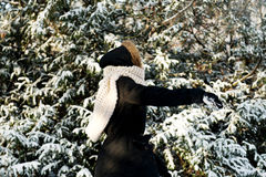 Young woman throwing snowball Stock Photography