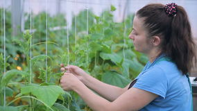 Young woman ties cucumber plants in greenhouse on farm. stock video