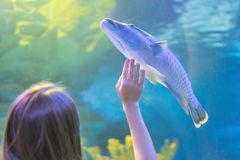 Young woman touches a stingray fish in an oceanarium tunnel.  royalty free stock images