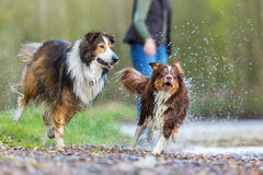 Young woman with two dogs at a river. Young woman with an Australian Shepherd and a Collie-Mix at a river Stock Photo