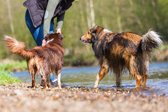 Young woman with two dogs at a river. Young woman with an Australian Shepherd and a Collie-Mix at a river Royalty Free Stock Images