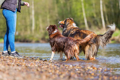 Young woman with two dogs at the river. Young woman with an Australian Shepherd and a Collie-Mix at the river Stock Image