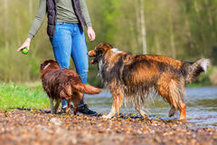 Young woman with two dogs at the river. Young woman with an Australian Shepherd and a Collie-Mix at the river Stock Photo