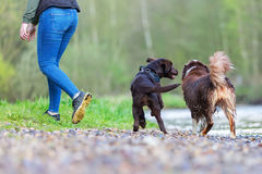 Young woman with two dogs at the river. Young woman with an Australian Shepherd and a Labrador puppy at the river Royalty Free Stock Photos