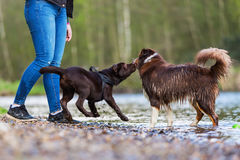 Young woman with two dogs at the river. Young woman with an Australian Shepherd and a Labrador puppy at the river Stock Photography