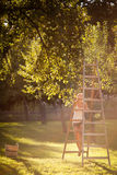 Young woman up on a ladder picking apples from an apple tree Royalty Free Stock Photos
