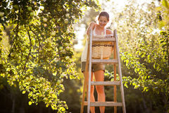 Young woman up on a ladder picking apples from an apple tree Stock Photo