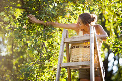Young woman up on a ladder picking apples from an apple tree Royalty Free Stock Image
