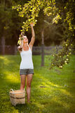 Young woman up on a ladder picking apples from an apple tree Stock Photography