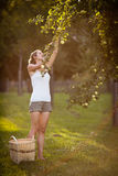 Young woman up on a ladder picking apples from an apple tree Royalty Free Stock Photography