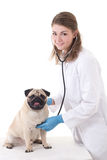 Young woman vet doctor checking dog with stethoscope isolated on Stock Image